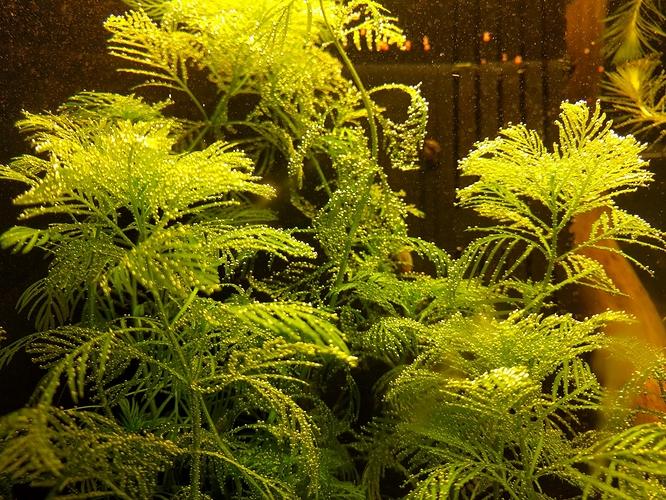 Pearling-Myriophyllum